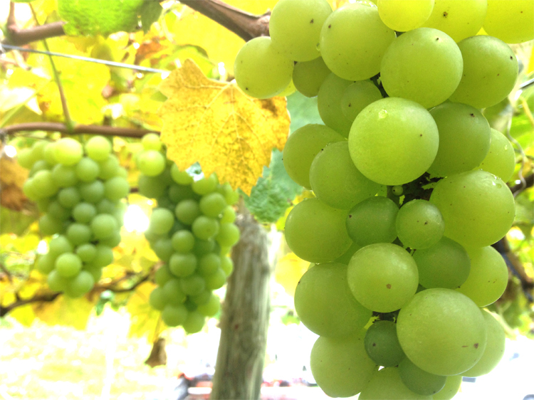 20171023-white-grape.jpg